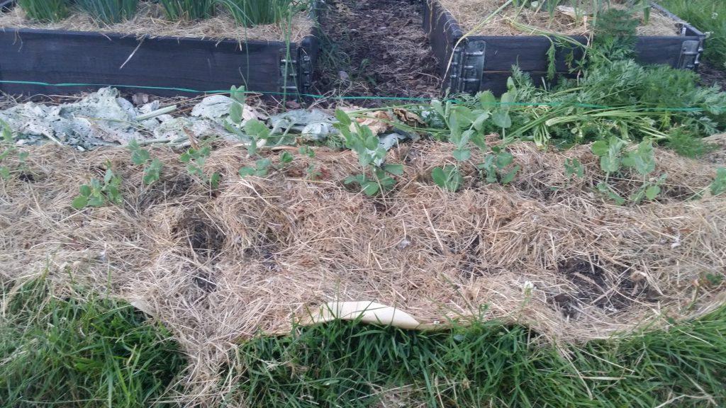 Här är ärtorna helt nyplanterade